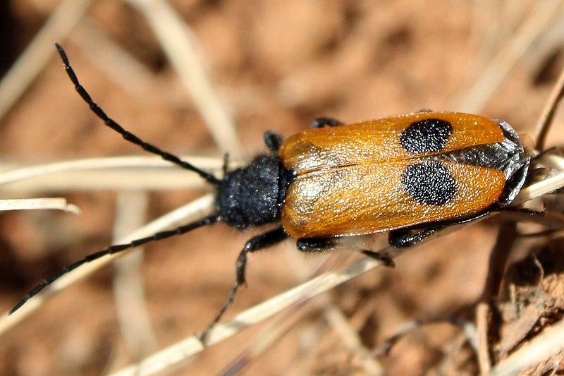 Vzácny druh chrobáka v Drienčanskom krase
