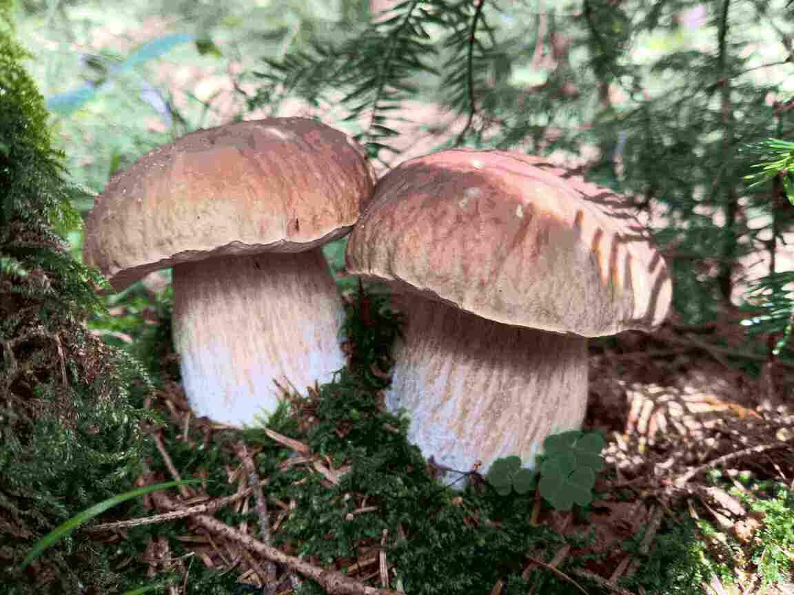 Hríb zrnitohlúbikový v breznianskych lesoch