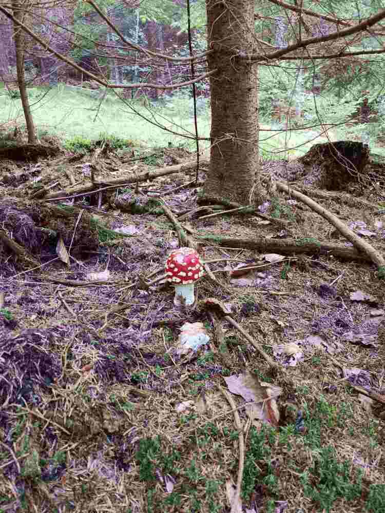 Muchotrávka červená je ozdobou lesa