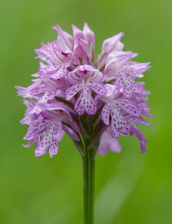 Orchidea, lat. názov Orchis tridenta SCOP.