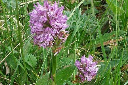 Orchidea vstavač trojzubý