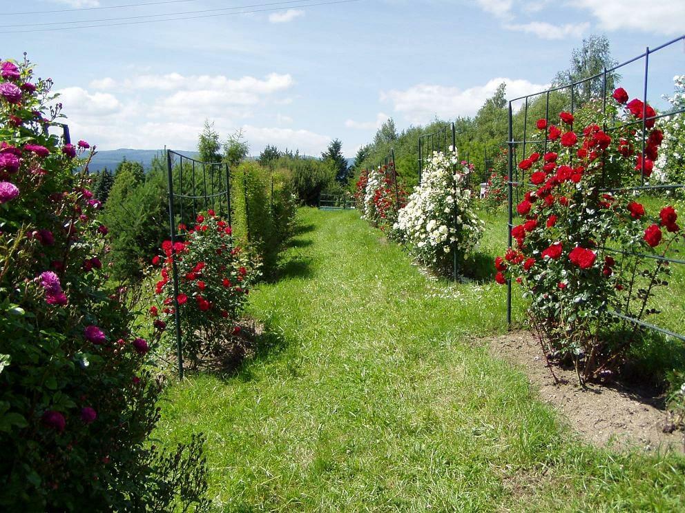 Popínavé ruže v Arboréte Borová hora