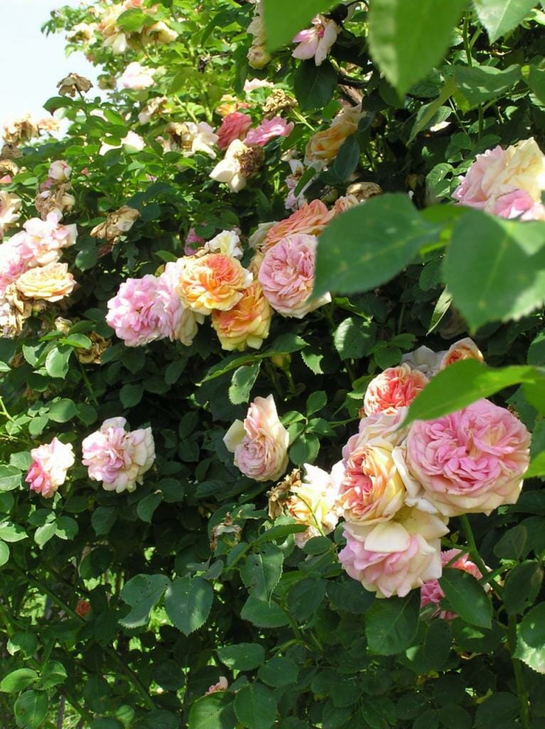 Zbierka ruží v Arboréte Borová hora