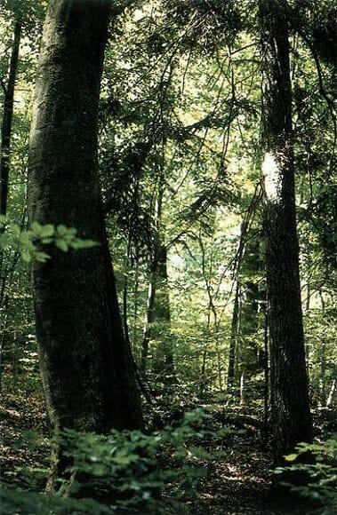 Jedľa biela v Badínskom pralese